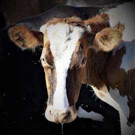 Cow by Sarah Harding - Novices Only Pets ( farm, outdoors, novices only, cow, animal )
