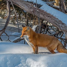 Red Fox in the Snow by Steve Dunsford - Animals Other Mammals ( fox, canada, ontario parks, wildlife photography, wildlife, ontario, mammal, red fox, winter, nature, algonquin, snow, outdoor, nature photography, algonquin park, animal )