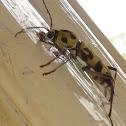 Round-Necked Longhorn Beetle