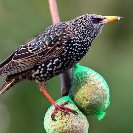 Sansonnet by Gérard CHATENET - Animals Birds
