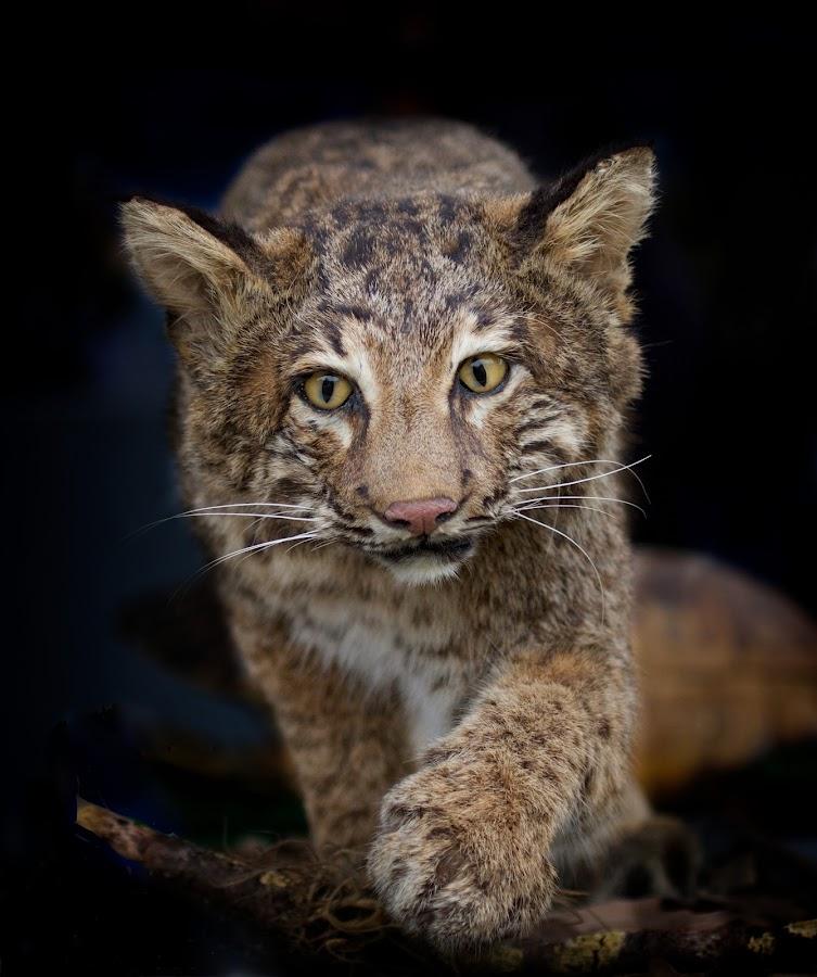 The Stalker by Sandy Scott - Animals Lions, Tigers & Big Cats ( mammals, animals, bobcat, cat, nature, reline, bobcat portrait, wildlife, paws, wild cats, eyes,  )