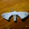 Bombycid Moth