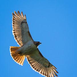 Hunting by Brad Bellisle - Animals Birds ( bird, fly, soar, hawk )