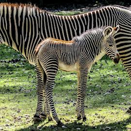 7 day old zebra & mum by Garry Chisholm - Animals Other Mammals ( garry chisholm, nature, white, wildlife, baby, zebra, stripes, black )