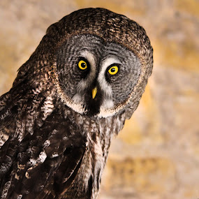 Who me? by Bea Welsh - Animals Birds ( bird, perched, bird of prey, bright, wings, owl, feathers, eyes,  )