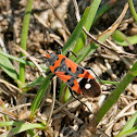 Black-and-Red Bug