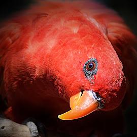 Red Lori by Shawn Thomas - Digital Art Animals