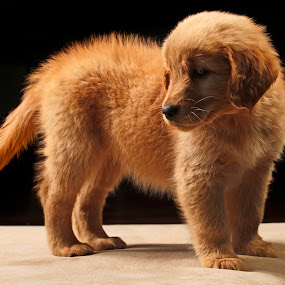 Golden by Cristobal Garciaferro Rubio - Animals - Dogs Puppies ( little dog, golden, golden retriever )