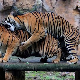 Just Play the Game by Yohanes Arief Dewanto - Animals Lions, Tigers & Big Cats ( wild, animals, tiger, sumatran_tiger, animal )
