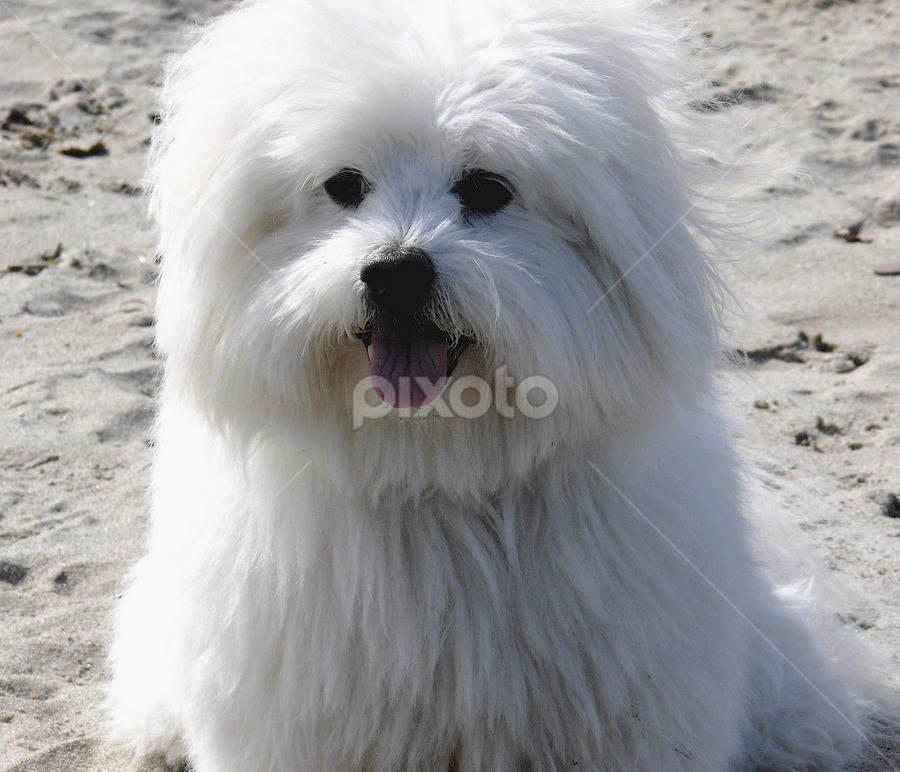 Bailey @ the Beach by Jeannette Thalmann-Bendeth - Animals - Dogs Portraits ( bailey, beach, coton de tulear, dog,  )
