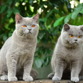 by Cacang Effendi - Animals - Cats Portraits ( cats, kitten, bsh, #chandracattery, brittish )