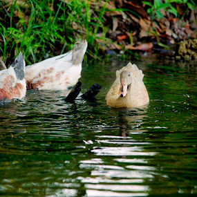 Ducks by Mohamad Sa'at Haji Mokim - Animals Birds
