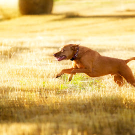 Running Fields 2 by Ian Taylor - Animals - Dogs Running ( vizsla, running, golden, filed, vizsla cross, cross )