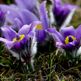 Pulsatilla by Pavel Vysoglad - Flowers Flowers in the Wild