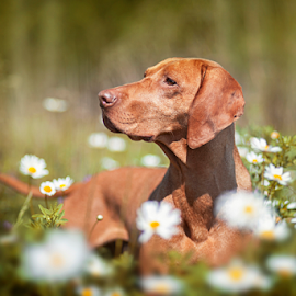 Dorka by Rado Ratic - Animals - Dogs Portraits ( colors, outdoor, vizsla, fun, dog,  )
