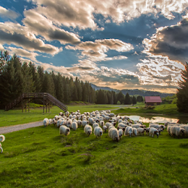 A flock of sheep in the Spring time by Stanislav Horacek - Animals Other Mammals