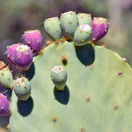 Prickly Pear by Dawn Hoehn Hagler - Nature Up Close Other plants ( tucson, arizona, cactus, garden, prickly pear, tohono chul park )