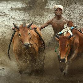 Spirit pacu jawi by MemenSaputra Mms - Sports & Fitness Other Sports ( minangkabau, splash, d5200, sports, cow race, travel, memensaputra, sumbar, sumatra barat, pacu, memensaputra mms, indonesia, jawi, pacu jawi, nikon, allahuakbar, culture )