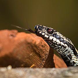 Viper by Terje Sandø - Animals Reptiles ( wild, snake, venom, wildlife, reptile, viper, animal )