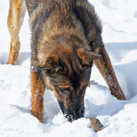 Well Hello There Little One! by Twin Wranglers Baker - Animals - Dogs Playing ( winter, snow, vole, dog, malinois dog,  )