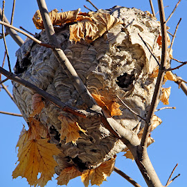 Paper Wasp by Jazz Johnson - Nature Up Close Hives & Nests ( wasp, nature, paper wasp, nest )