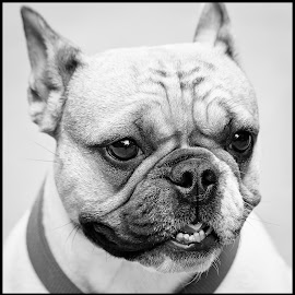 French Bulldog by Dave Lipchen - Black & White Animals ( french bulldog )