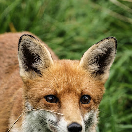 Up close by Garry Chisholm - Animals Other Mammals ( canine, garry chisholm, nature, wildlife, red fox )