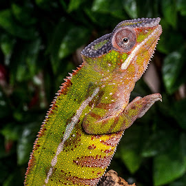 Hands up! by Garry Chisholm - Animals Reptiles ( garry chisholm, macro, lizard, nature, reptile, chameleon )