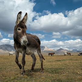 Donkey by Joyce Chang - Animals Other Mammals