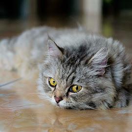 Moci by Dodid Widiyanto - Animals - Cats Portraits