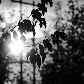 Silhouettes  by Todd Reynolds - Black & White Flowers & Plants