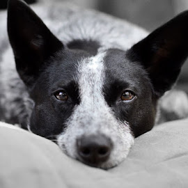 Heeler by Brian Catrell - Animals - Dogs Portraits