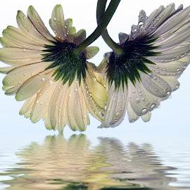two gerbers by LADOCKi Elvira - Digital Art Things ( nature, flowers, garden )