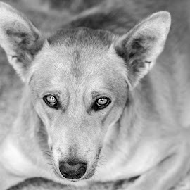 by Ricardo Figueirido - Animals - Dogs Portraits