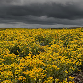 Flowers and Thunder by Levi Oelrich - Landscapes Prairies, Meadows & Fields ( thunder, colorado, storm, flowers, prairie, fields )