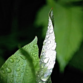 Rain Water on Leaves by Te-ge Watts Bramhall - Novices Only Macro ( water, macro, green, just learning, leaves, rain )