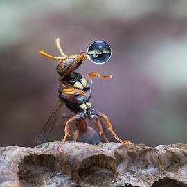 Wasp 170328A by Carrot Lim - Animals Insects & Spiders ( macro, wasp, water bubble, colors )