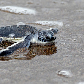 Baby Green Sea Turtle by Dora Korz - Animals Sea Creatures ( water, green, sea, beach, turtle, animal )
