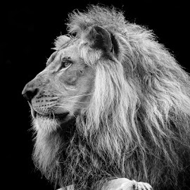 Lion by Buddy Woods - Animals Lions, Tigers & Big Cats ( big cat, lion, big cats, cat, jungle, lions, king )