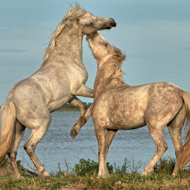 Young Camargue Stallions Fighting by Helen Matten - Animals Horses ( wild, stallions, marshes, camargue, white, fighting )