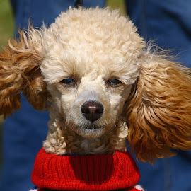 Sweet Girl by Chrissie Barrow - Animals - Dogs Portraits ( windy, poodle miniature, portrait, cream, eyes, red, female, pet, ears, woolly, dog, nose, tan, coat )