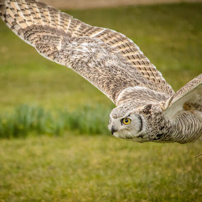 Grey Horned Owl by Andrew Moore - Animals Birds (  )