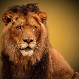Regal Lion by Shawn Thomas - Animals Lions, Tigers & Big Cats ( pride, predator, lion, cat, carnivore, mane, wildlife, king, large )