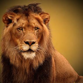 Regal Lion by Shawn Thomas - Animals Lions, Tigers & Big Cats ( pride, predator, lion, cat, carnivore, mane, wildlife, king, large )