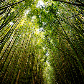 Bamboo Forest by Tom Cuccio - Landscapes Forests ( maui, bamboo, path, forest, landscape )