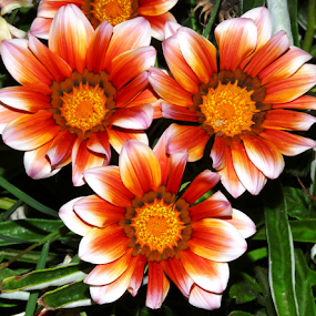by Dinesh Pandey - Flowers Flower Gardens (  )
