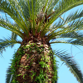 Growth on Trimmed Palm Tree by Kathy Rose Willis - Nature Up Close Trees & Bushes ( palm, palm tree, tree, blue, green, brown,  )