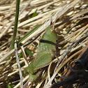 Northern Green-striped Grasshopper nymph