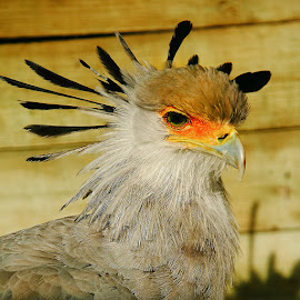 Serpentaire en colère by Gérard CHATENET - Animals Birds