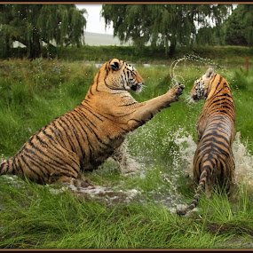 Slap by Romano Volker - Animals Lions, Tigers & Big Cats